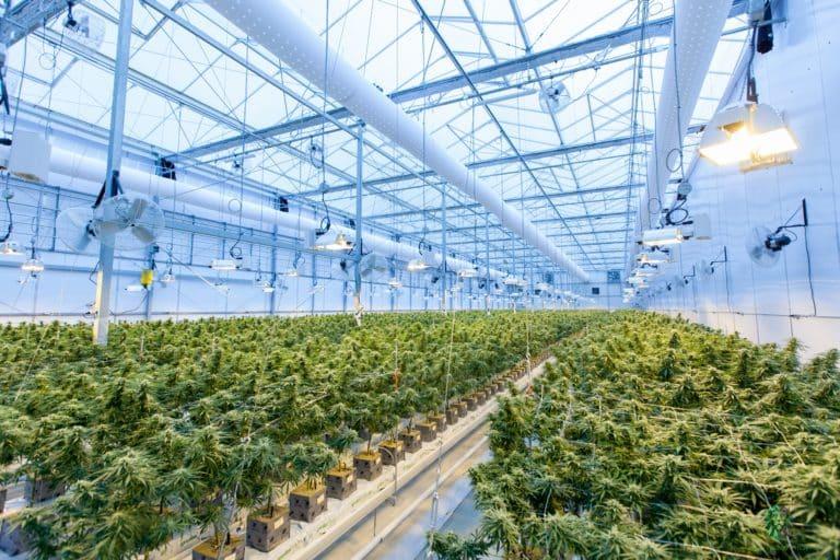 cannabis sativa marihuana plantage glashaus gewächshaus