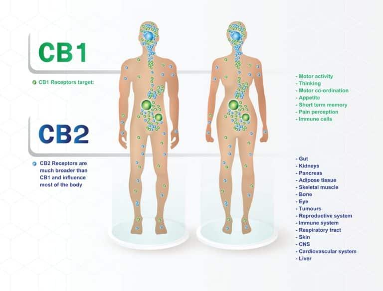 endocannabinoid system erklärt mit cb1 und cb2 rezeptoren und die wirkung auf den körper.