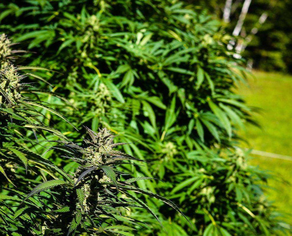 Marihuana CBD-Hanf wächst im Freien sehr gut.
