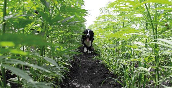 Hund in CBD Feld